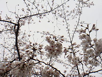 花見 2016